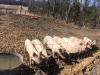 Pigs Eating at MAdera Farm in Nokesville, VA