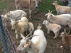 Goats at Madera Farm