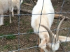 Goats Eating at Madera Farm in Nokesville, VA
