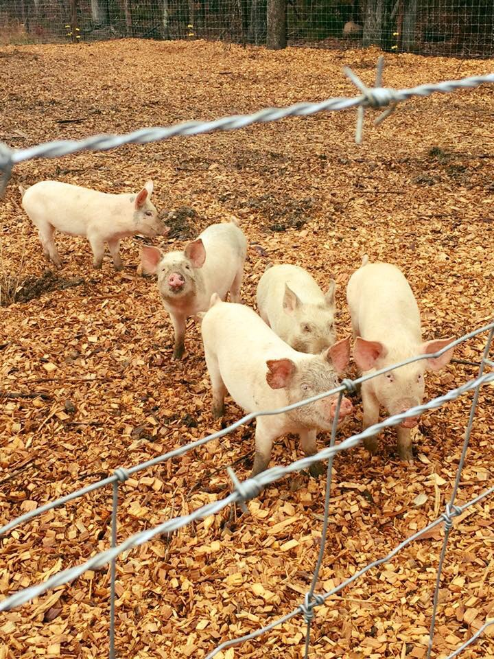 Pigs at Madera Farm