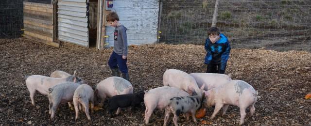 Madera Farm Pigs