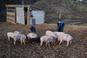 Mader Farm Raising Pigs