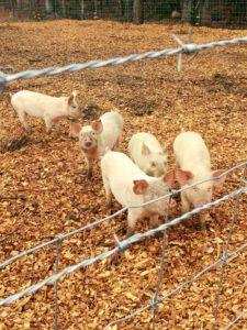 Pigs at Madera Farm Nokesville, VA