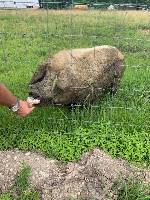 Patriotic Pig, Madera Farm in Nokesville, Virginia